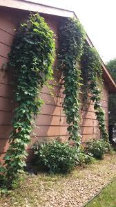 87 best growing hops images on pinterest beer brewing and minnesota