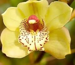 cymbidium orchid cymbidium orchid care orchid care