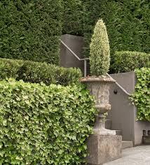 english ivy monrovia english ivy