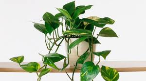 lovely common indoor house plants a z list of and scientific names