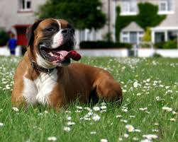 boxer dog sayings 45 best boxers images on pinterest boxer love animals and boxers