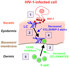 hiv 1 efficient entry in inner is mediated by elevated