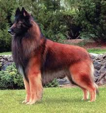 belgian sheepdog merchandise 34 best belgian tervuran images on pinterest belgian shepherd
