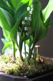 diy grow lily of the valley on a windowsill gardenista