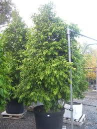 friends of peacehaven botanic park inc new members new plants cupaniopsis anacardiodestuckeroo australian native tree screening