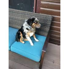 7 month old australian shepherd puppy 7 months old pure breed australian shepherd puppy in philadelphia