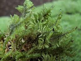 amazon com live feather moss 1 quart for vivarium terrarium