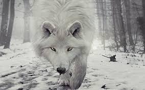 imagenes de fondo de pantalla lobos fondos de pantalla de lobos hd fondos de pantalla