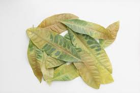 Dieffenbachia Dieffenbachia Dumb Cane Leopard Lily Plant How To Care And