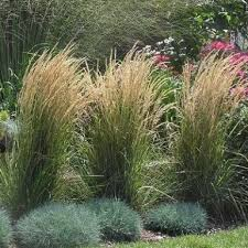 karl foerster feather reed grass white oak gardens cincinnati oh