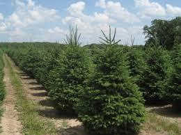 high quality wholesale nursery trees