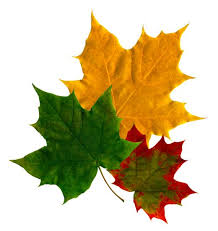 6 common maple tree problems dengarden