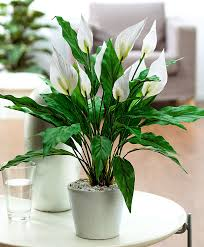 Indoor Plants Low Light by Peace Lily Spathiphyllum Artificial Plant Garden Care From