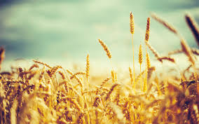 golden wheat vintage wallpapers