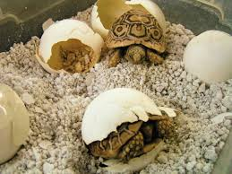 Tortoise Bedding Leopard Tortoise Care And Breeding Tips