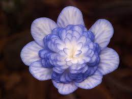 33 best hepatica images on pinterest beautiful flowers pretty
