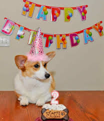 Corgi Birthday Meme - dog birthday party gif siudy net