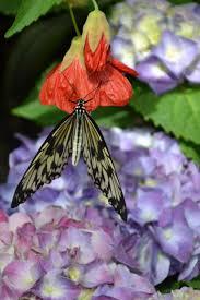 krohn butterfly show
