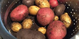 Container Gardening Potatoes - growing potatoes in containers garden culture magazine