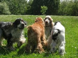 afghan hound attack dog health services authors