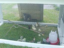 tractor daytime playpen backyard chickens