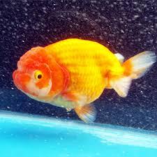 Buy Ornamental Fish Premium Ornamental Unique Live Betta Fish Sale Goldfish At