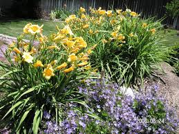 Stella Daylily 5 Fool Proof Perennial Flowers Town And Country Gardens