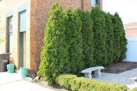 emerald green arborvitae shrubs specialty tree type