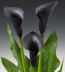 black calla calla cantor zantedeschia mini hybrid help a gorgeous