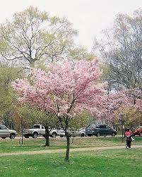 light pink cherry blossom tree branch brook park newark flickr
