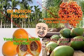 buah pinang di racik jadi obat kuat obat tahan lama tradisional