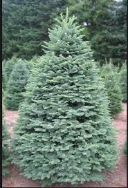 2 answers why are noble fir trees more expensive than other firs