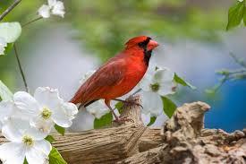 ohio state bird free download clip art free clip art on