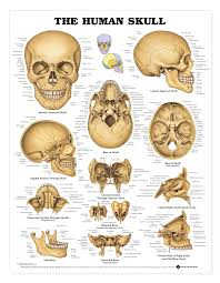 Human Anatomy Anterior Human Skull Anatomy Diagram Human Anatomy Anterior Skull Anatomy