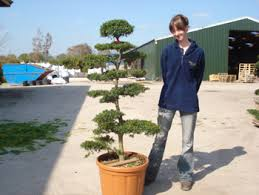 Topiary Cloud Trees - bonsai cloud trees grasslands nursery free green lane over