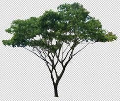 elm tree 2d dwg elevation for autocad designs cad