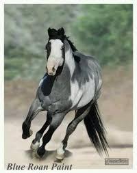 blue roan overo paint horse