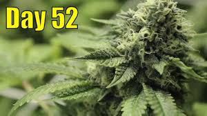 indoor flowering marijuana plants at day 52 avoiding bud rot