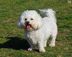 bichon frise long hair bichon frise dog breed information buying advice photos and