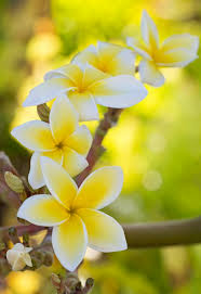 native hawaiian plant nursery 36 best tropical hawaiian flowers images on pinterest tropical