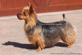 silky terrier hair cut grooming your australian terrier