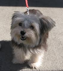 haircut for morkies morkie information pictures reviews and q a greatdogsite com