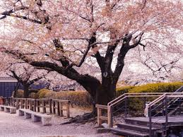 the top 7 places in to see cherry blossom booking com