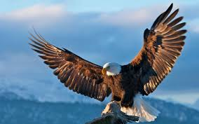 strange eagle wallpapers bald eagle wallpaper high resolution 52dazhew gallery