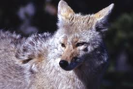 North Carolina wildlife images Coyotes on the outer banks kill devil hills nc official website