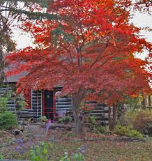 beautiful japanese maple tree bloodgood
