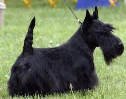 scottish yerrier haircuts about dog scottish terrier how well is your scottish terrier groomed