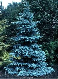 the bluest of the blue spruce trees picea pungens glauca hoopsii