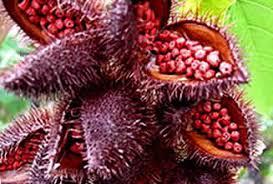 annatto bixa orellana herbal medicine health benefits uses