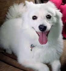american eskimo dog growling a tribute to zoe christmas country mom